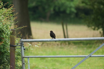 Common Blackbird - Turdus merula