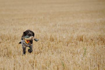 deutscher Wachtelhund Welpe 0012