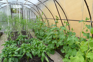 Cultivation of vegetables in the greenhouse