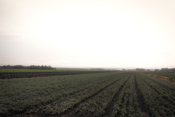 Rows of Crops Foggy Day