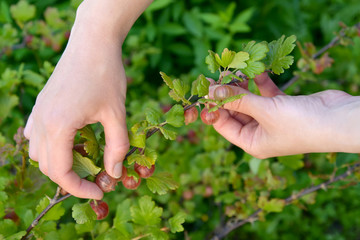 Hands of the woman collecting a gooseberry