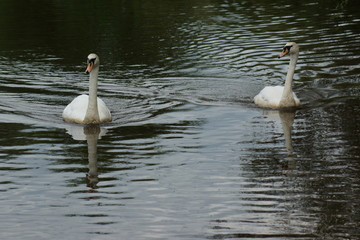 Pair of Mute Swan - Cygnus olor