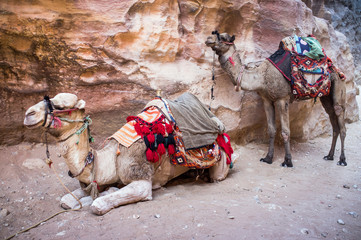Two camels in Petra Jordan