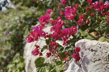 Italy, Sicily, countryside, red bouganvilleas in a garden