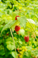 Berries of raspberry on the bush