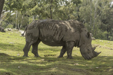 rhino in the natural park