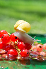 Snail crawling on a red currant berries in water