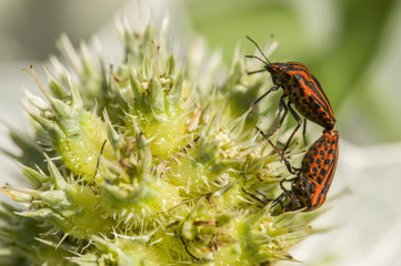Mating of Graphosoma italicum coleopterons