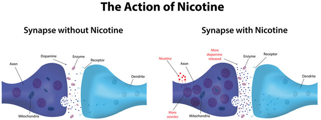 Action of Nicotine