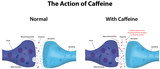 The Action of Caffeine poster