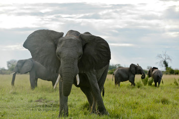 Elefant droht
