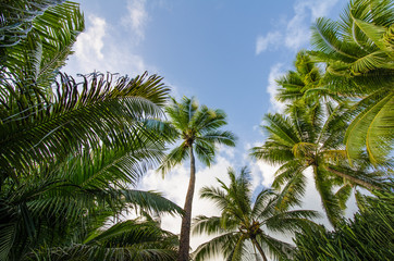 Looking up at palm trees against the blue sky