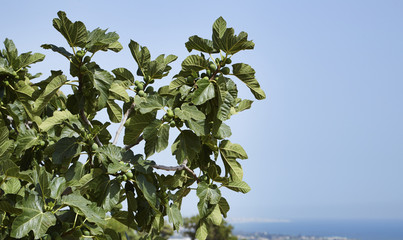 Italy, Sicily, countryside, figs plant
