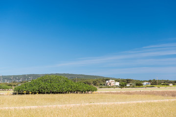 Formentera Fig tree
