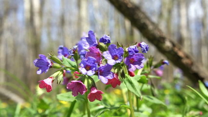 Lungwort, or Pulmonary (Pulmonaria) in the forest