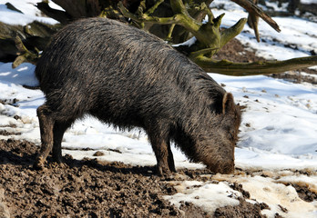Wild boar in winter