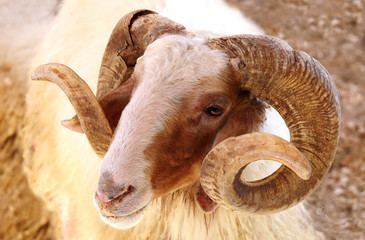 Closeup of a Awassi sheep
