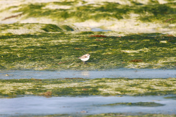 Semipalmated Sandpiper and the green sea weeds