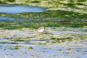Semipalmated Sandpiper in green sea weeds environment
