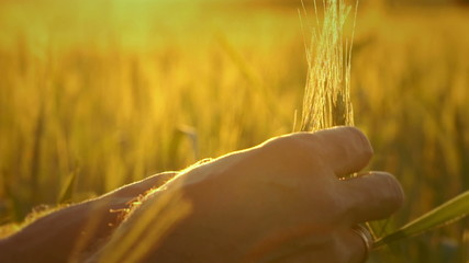 Ear of wheat in the men hands farmer.