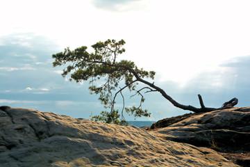 Baum auf einem Felsen im Harz