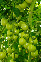 two branches of tomato with green unripe fruits