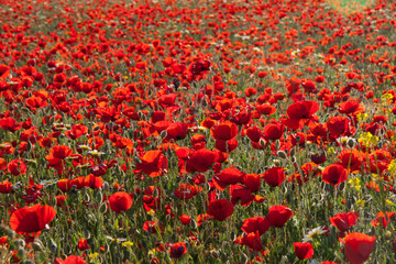 Poppy field against the sun