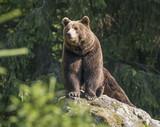 Fototapety brown bear male