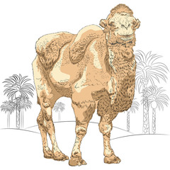 vector sketch of Bactrian camel in the desert