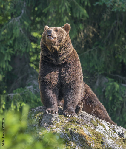 canvas print picture brown bear male