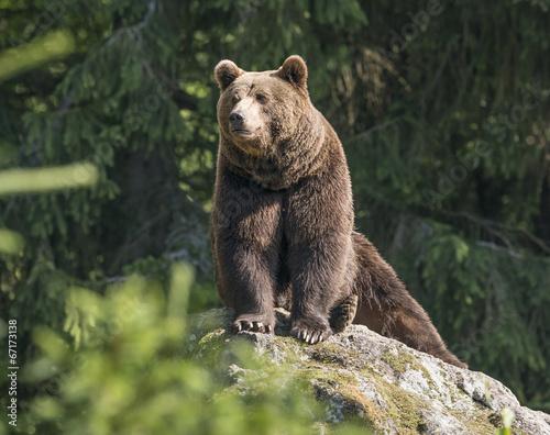 Plexiglas Dragen brown bear male