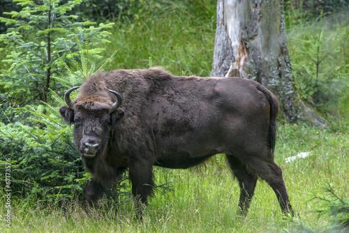 Keuken foto achterwand Buffel European bison - bull