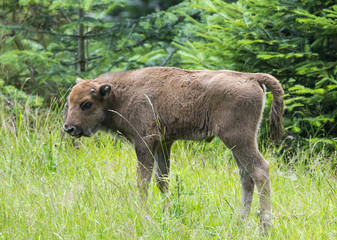 European bison - baby animal