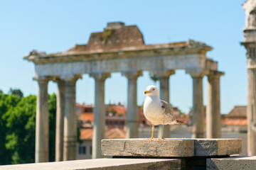 Seagull is the ruins of the Roman Forum in Rome