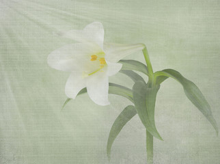 Easter lily with light beams