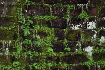 Mossy old brick wall