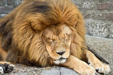 Huge African lion resting