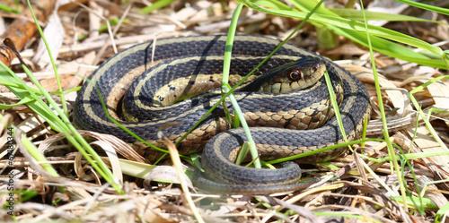 Garter Snake (Thamnophis sirtalis) - 67180344