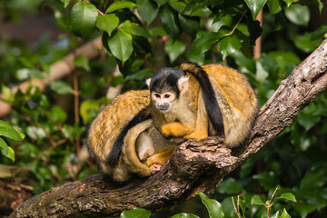 squirrel monkeys resting on tree branch