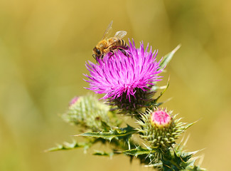 Closeup photo of a bee on thistle wildflower