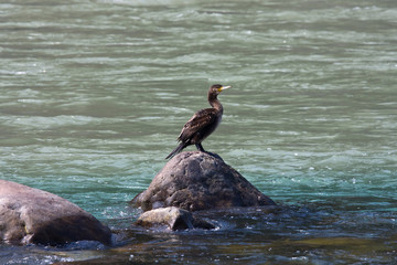 Single duck gazing the water on the Ganges River. India.