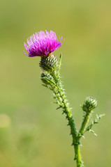 Closeup photo of a thistle wildflower