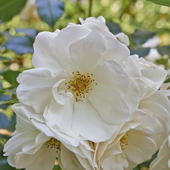 pale white wild rose flower closeup