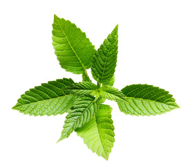 Green mint leaves isolated.