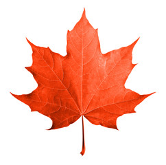 Red maple leaf isolated