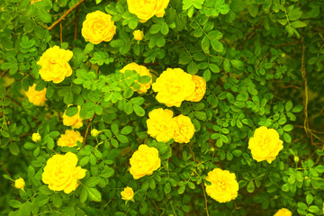 Beautiful yellow roses on green bush