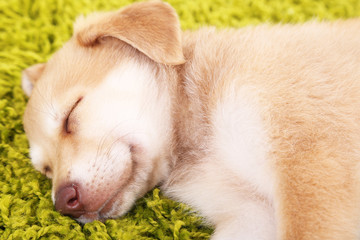 Little cute Golden Retriever puppy on green carpet