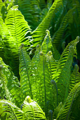 Green wild fern leaves grown in a shady woodland