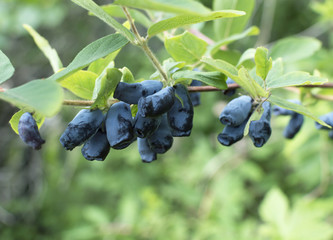 Honeysuckle branch with blue ripe berries