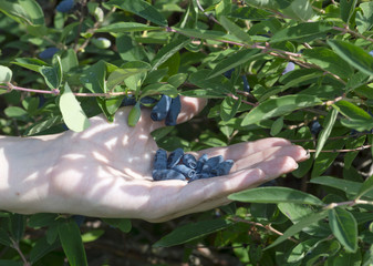 Honeysuckle berries on the female hand